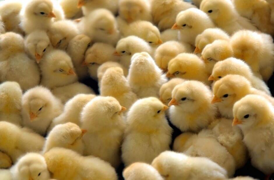 sexador de pollos, pollitos, tiernos, lindos