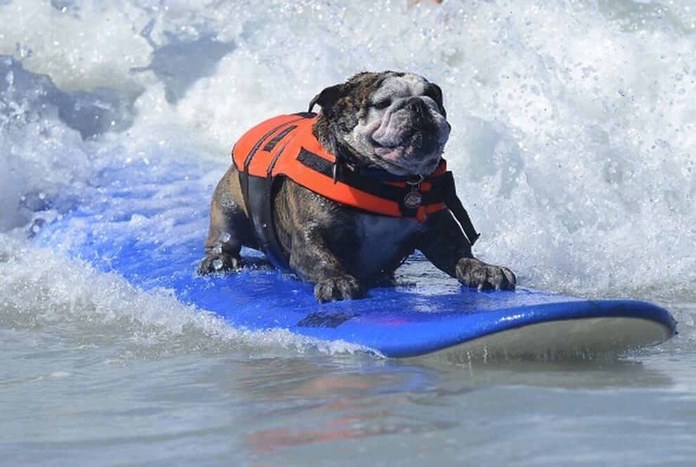 chien, surf, vagues, mer, cool